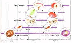 Ciclo de Cydia pomonella,