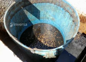 Larvas de mosca en lixiviados
